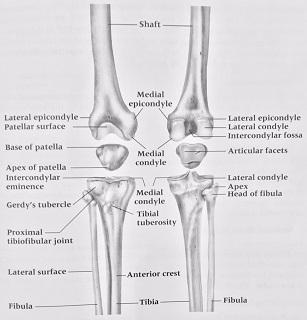 related keywords  u0026 suggestions for knee bones